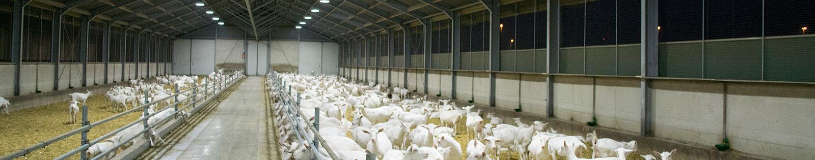 Eco-line3 LED en inductie stalverlichting voor geitenhouderij